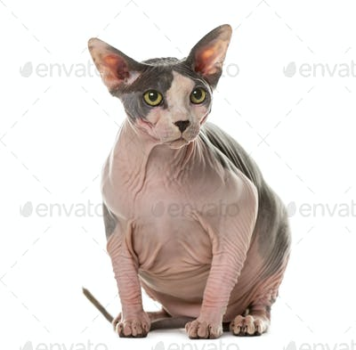 Sphynx sitting in front of a white background