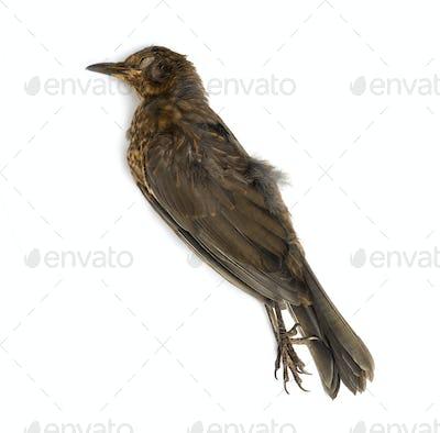 Dead Common blackbird
