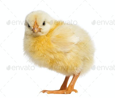 Chick 2 days old