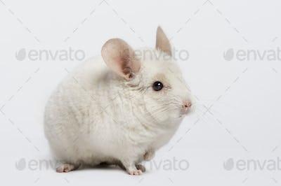 chinchilla (6 years old)
