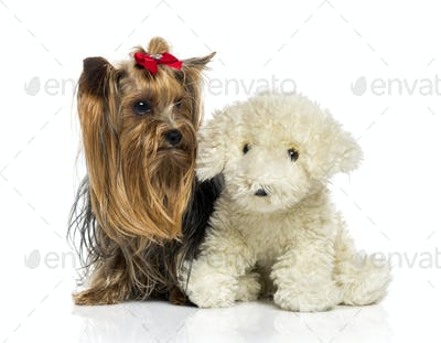 Yorkshire Terrier close to a teddy bear (2.5 years old)