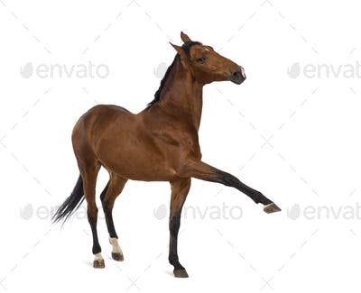 Andalusian horse with a leg up