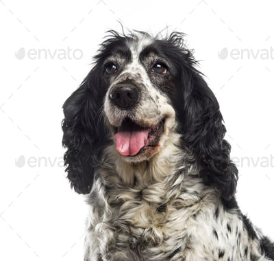 Close-up of an English Cocker Spaniel (12 years old)