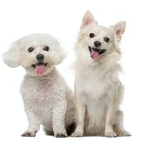 Maltese and Chihuahua in front of a white background