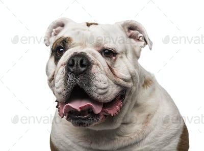 English Bulldog (6 years old)