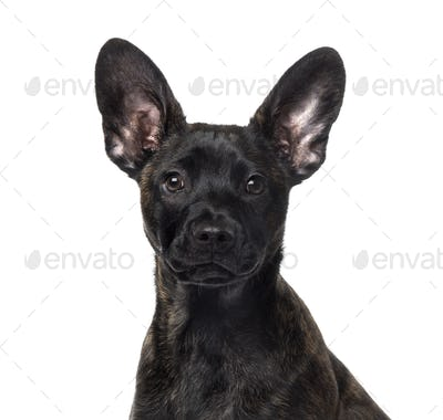 Crossbreed (4 months old) in front of a white background