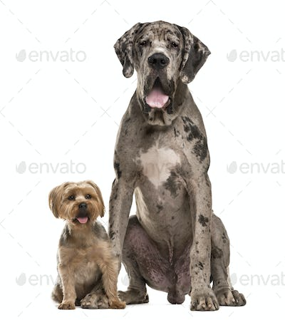 Great Dane and Yorkshire sitting in front of a white background