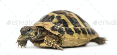 Hermann's tortoise, isolated on white