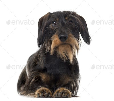 Dachshund (2 years old) in front of a white background