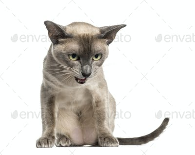 Tonkinese sitting, looking down, isolated on white (18 months old)