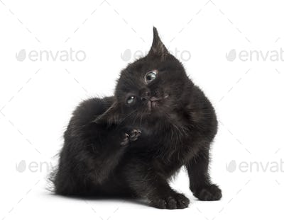 Black kitten scratching in front of a white background