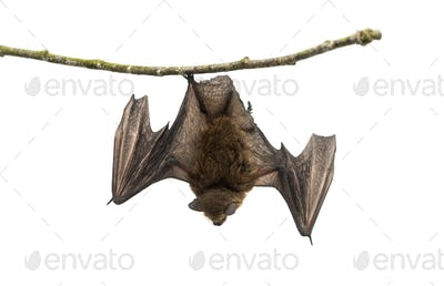 Old common bent-wing bat perched on a branch