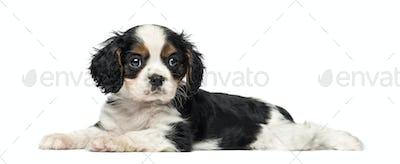 Cavalier King Charles Spaniel puppy (8 weeks old)