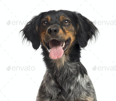 Close-up of a Brittany Spaniel in front of a white background