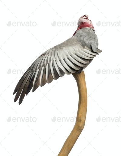 Rose-breasted Cockatoo (2 years old) perched on a branch, isolated on white
