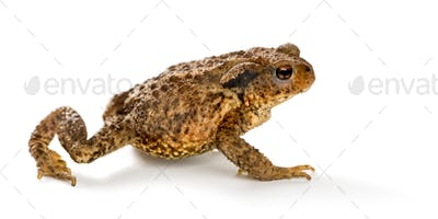European toad, bufo bufo, in front of a white background