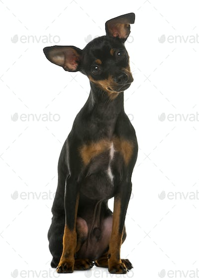 Miniature Pinscher sitting in front of a white background