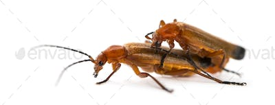 Common red soldier beetle, Rhagonycha fulva, mating in front of a white background