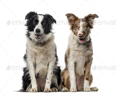 Two Border collies in front of a white background