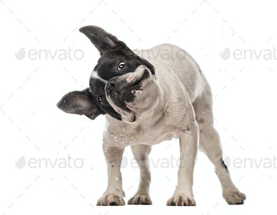 French Bulldog (3 years old) shaking