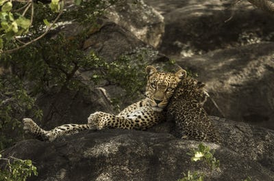 Leoprad and her cubs resting on rocks, Serengeti, Tanzania, Africa