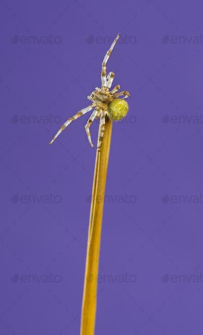 European garden spider, Araneus diadematus, on a blade of grass in front of a purple background