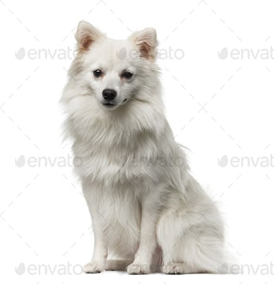 German Spitz (1 year old) in front of a white background