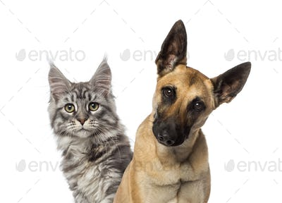 Close-up of a Belgian Shepherd Dog and a cat