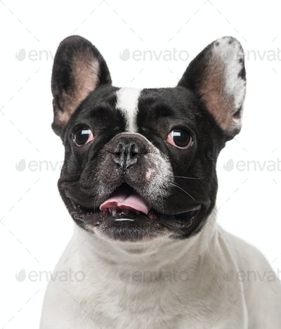 French Bulldog (2 years old)