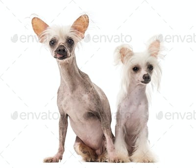 Chinese Crested Dogs sitting in front of a white background