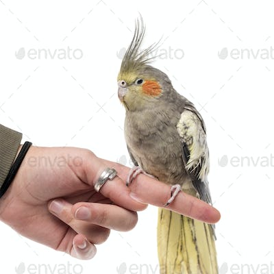Cockatiel perched on a finger in front of a white background