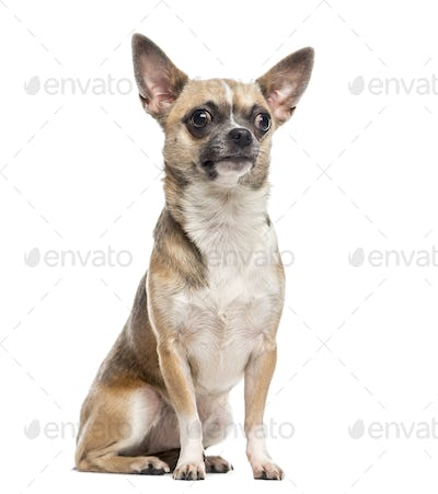 Chihuahua (1 year old)