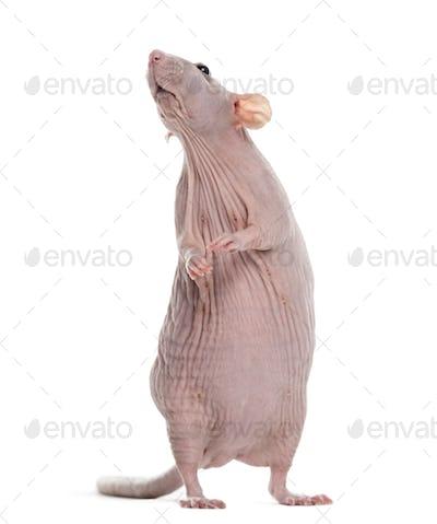 Hairlesss rat
