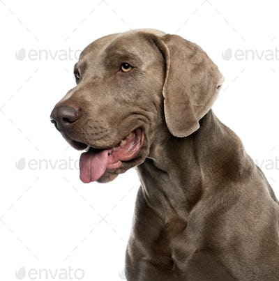Close-up of Weimaraner (2 years old) in front of a white background