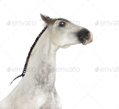Close-up of an Andalusian horse