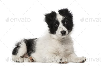 Border Collie puppy (10 weeks old)
