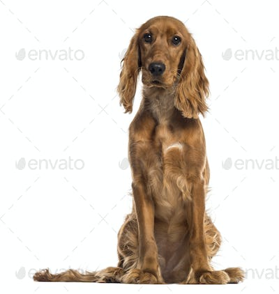 English Cocker Spaniel sitting (7 months old)