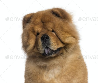 Headshot of a Chow Chow (3 years old)