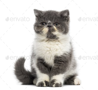 Exotic Shorthair kitten (3 months old)