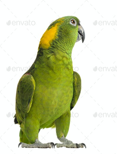 Yellow-naped parrot looking back (6 years old), isolated on white