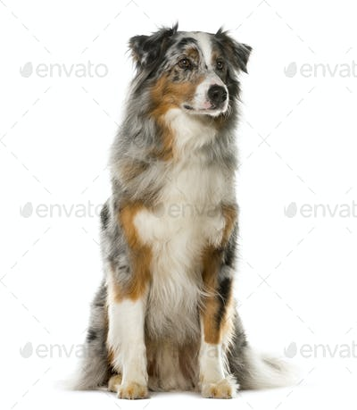 Australian Shepherd sitting in front of a white background