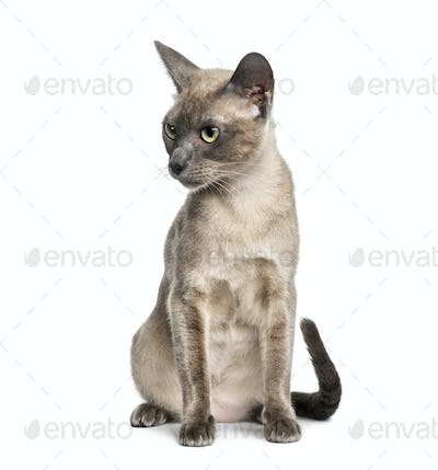 Tonkinese sitting, isolated on white (18 months old)