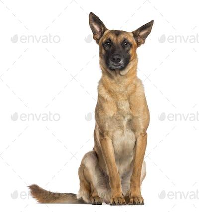 Belgian Shepherd Dog sitting (Malinois)
