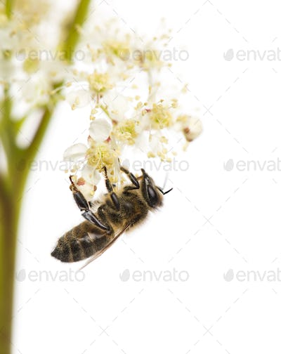 Honey bee foraging in front of a white background
