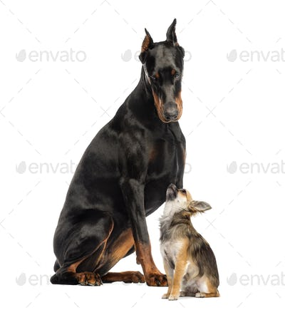 Doberman sitting and looking at a Chihuahua in front of a white background