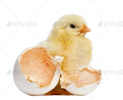 Chick standing next to its egg (2 days old)