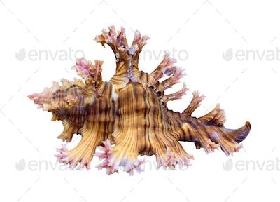 Shell of Murex Saulii or Chicoreus Saulii