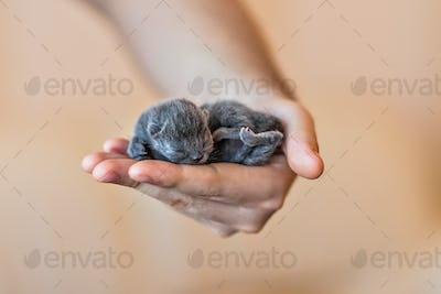 Blue british kitten in men's hand