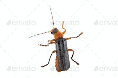 Soldier beetle on a white background