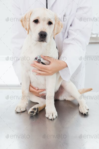 Veterinarian examining a cute dog with a stethoscope in medical office